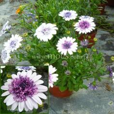 Osteospermum (Osteospermum ecklonis) - FlowerPower 3D - Dark Violet White