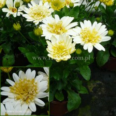Osteospermum (Osteospermum ecklonis) - FlowerPower 3D - Lemon Ice