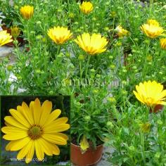 Osteospermum (Osteospermum ecklonis)  - FlowerPower - Pure Yellow