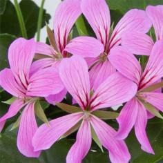 Pelargonia bluszczolistna zwisająca (Pelargonium peltatum) - Balcon - Lilac