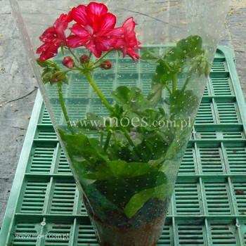 Pelargonia bluszczolistna zwisająca (Pelargonium peltatum) - Toscana - Chris