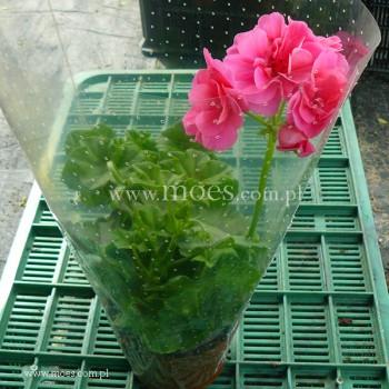 Pelargonia bluszczolistna zwisająca (Pelargonium peltatum) - Toscana - Erke