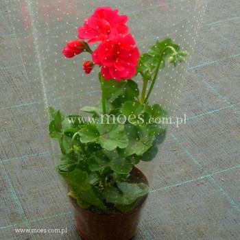 Pelargonia bluszczolistna zwisająca (Pelargonium peltatum) - Toscana - Josina