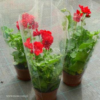 Pelargonia bluszczolistna zwisająca (Pelargonium peltatum) - Toscana - Paula