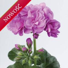 Pelargonia bluszczolistna zwisająca (Pelargonium peltatum) - Toscana - Rikea