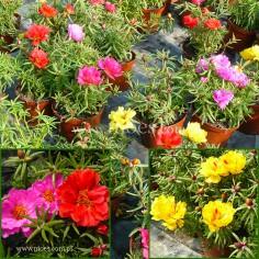 Portulaka wielkokwiatowa (Portulaca grandiflora) - Happy Hour - Mix