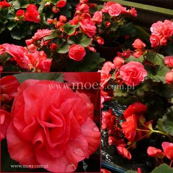 begonia zimowa begonia elatior solenia dark pink. Black Bedroom Furniture Sets. Home Design Ideas