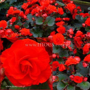 Begonia zimowa (Begonia elatior) - Solenia - Red Orange