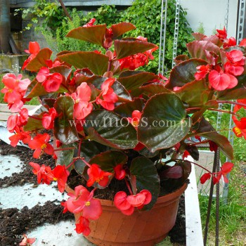 Begonia stale kwitnąca (Begonia semperflorens) - Big - Red with Bronze Leaf