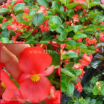 Begonia stale kwitnąca (Begonia semperflorens) - Big - Red with Green Leaf