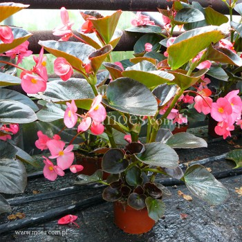 Begonia stale kwitnąca (Begonia semperflorens) - Big - Rose with Bronze Leaf