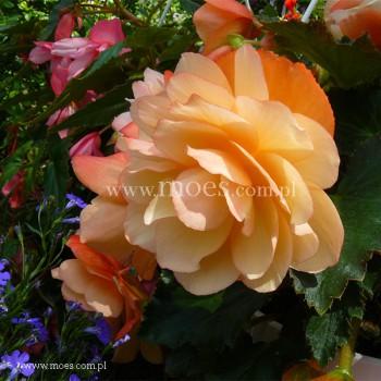 Begonia bulwiasta (Begonia tuberhybrida) - Fragrant Falls - Peach