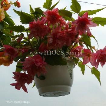 Begonia bulwiasta (Begonia tuberhybrida) - Illumination - Mix