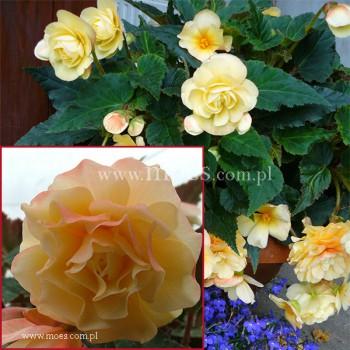 Begonia bulwiasta (Begonia tuberhybrida) - Rosana Champagner