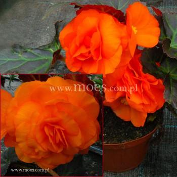 Begonia bulwiasta (Begonia tuberhybrida) - NonStop - Mocca Deep Orange