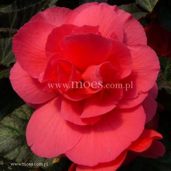 Begonia bulwiasta (Begonia tuberhybrida) - NonStop - Mocca Pink Shades