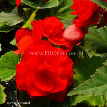 Begonia bulwiasta (Begonia tuberhybrida) - NonStop - Red