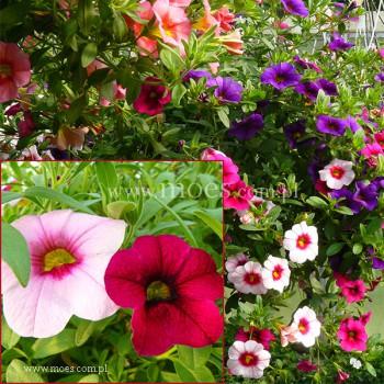 Calibrachoa (Calibrachoa x hybrida) - Trixi - Pastel
