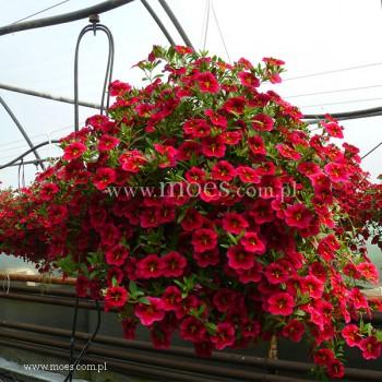 Calibrachoa (Calibrachoa x hybrida) - Rave - Cherry