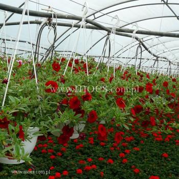 Calibrachoa (Calibrachoa x hybrida) - Mini Famous - Neo Firestorm