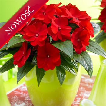 Niecierpek Nowogwinejski (Impatiens New Guinea) - ClockWork - Red Green Leaved