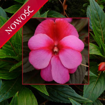 Niecierpek Nowogwinejski (Impatiens New Guinea) - ClockWork - Bicolor Lilac Dark Leaved