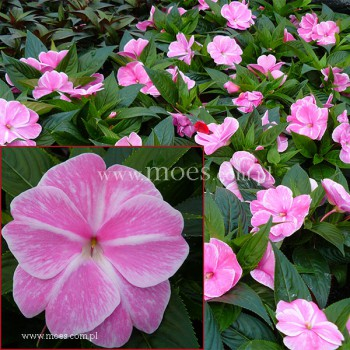 Niecierpek Nowogwinejski (Impatiens New Guinea) - Sonic - Magic Pink