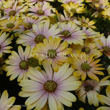 Osteospermum (Osteospermum ecklonis)  - FlowerPower - Shadow Lemon