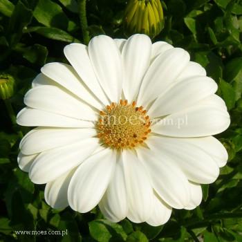 Osteospermum (Osteospermum ecklonis)  - FlowerPower - Creme
