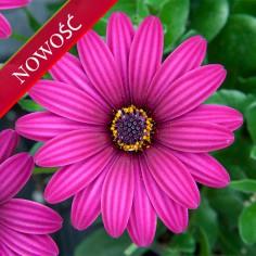 Osteospermum (Osteospermum ecklonis)  - FlowerPower - Purple