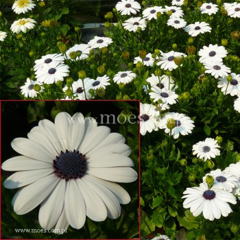 Osteospermum (Osteospermum ecklonis)  - FlowerPower - White