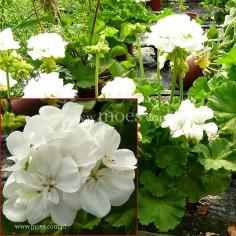 Pelargonia ogrodowa stojąca (Pelargonium zonale) - Toscana - Wenke