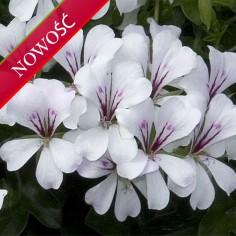 Pelargonia bluszczolistna zwisająca (Pelargonium peltatum) - Balcon - Glacier White