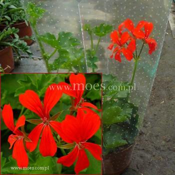 Pelargonia bluszczolistna zwisająca (Pelargonium peltatum) - Balcon - Red