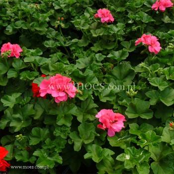 Pelargonia bluszczolistna zwisająca (Pelargonium peltatum) - Toscana - Linda
