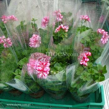 Pelargonia bluszczolistna zwisająca (Pelargonium peltatum) - Toscana - Nixe