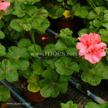 Pelargonia bluszczolistna zwisająca (Pelargonium peltatum) - Toscana - Rebecca