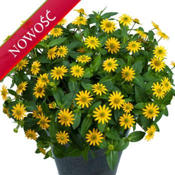 Sanwitalia (Sanvitalia procumbens) - Talya - Great Yellow