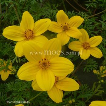 Uczep złocisty (Bidens ferulifolia) - Eldoro Yellow Early