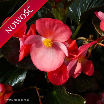 Begonia stale kwitnąca (Begonia semperflorens) - Megawatt - Red with Bronze Leaf