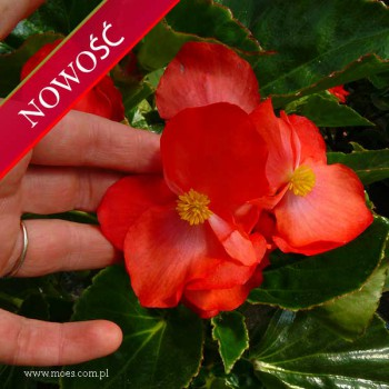 Begonia stale kwitnąca (Begonia semperflorens) - Megawatt - Red with Green Leaf