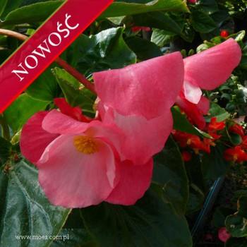 Begonia stale kwitnąca (Begonia semperflorens) - Megawatt - Rose with Bronze Leaf