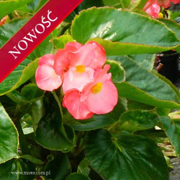 Begonia stale kwitnąca (Begonia semperflorens) - Megawatt - Rose with Green Leaf