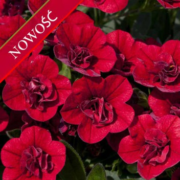 Calibrachoa (Calibrachoa x hybrida) - Calita - Double Red