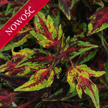 Koleus Blumego (Coleus blumei) - Flame Thrower - Chilli Pepper