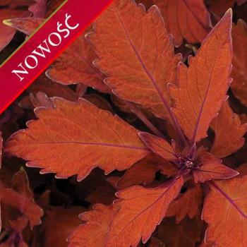 Koleus Blumego (Coleus blumei) - Flame Thrower - Habanero