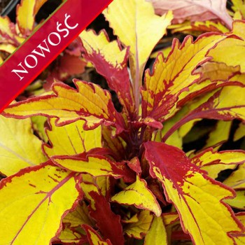 Koleus Blumego (Coleus blumei) - Flame Thrower - Spiced Curry