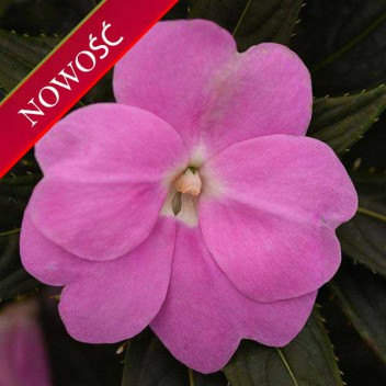 Niecierpek Nowogwinejski (Impatiens New Guinea) - ClockWork - Lavender Green Leaved