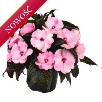 Niecierpek Nowogwinejski (Impatiens New Guinea) - ClockWork - Pink Dark Leaved