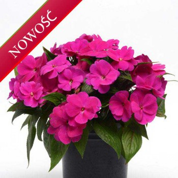 Niecierpek Nowogwinejski (Impatiens New Guinea) - ClockWork - Purple Green Leaved